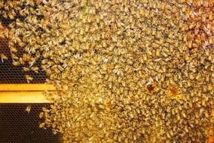 ASB19 Bees_Stony Kill Foundation