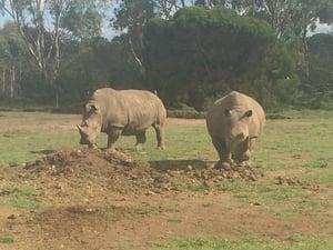 Weribee_Rhinos